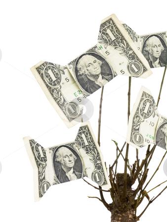 Money Tree stock photo, One Dollar Money Tree on a white background by John Teeter