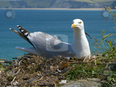 A seagull sat on its nest protecting its eggs in Newquay, Cornwall UK. stock photo, A seagull sat on its nest protecting its eggs in Newquay, Cornwall UK. by Stephen Rees