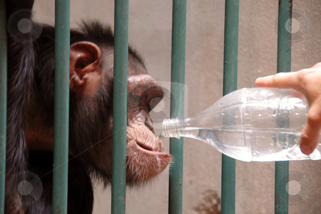 Monkey drinking water stock photo, Monkey in cage drinking water from plastic bottle by Julija Sapic