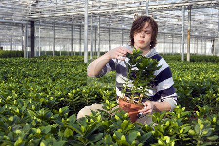 Examining potted plants stock photo, A man examining plants in a glasshouse by Corepics VOF