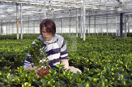 Examining potted plants stock photo, A man examining plants in a glasshouse, surrounded by endless rows of lilies by Corepics VOF