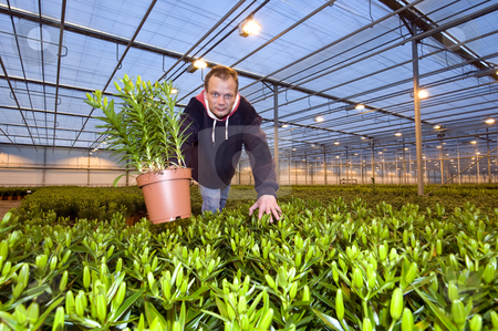 Showing a plant stock photo, A man in the middle of a huge glasshouse, picking up a potted plant and showing it by Corepics VOF