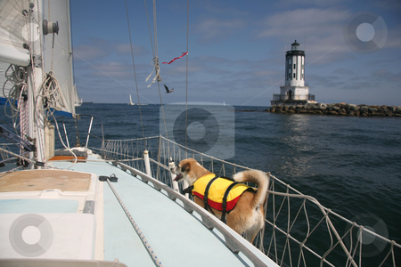 Sailing dog stock photo, Mixed breed dog on a sailboat near a lighthouse by Stacy Barnett