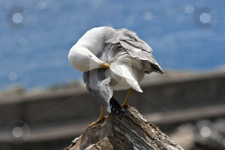 Seagull stock photo, Seagull is cleaning on a rock near the sea by ANTONIO SCARPI