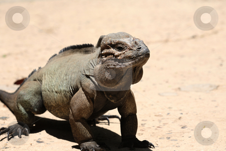 Iguana lizard stock photo, Close-up of iguana lizard in Dominican Republic by Tom P.