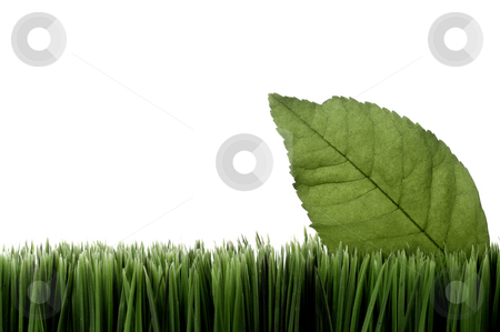 Horizontal image of a green leaf on grass on white with space fo stock photo, Horizontal image of a green leaf on grass on white with space for copy by Vince Clements
