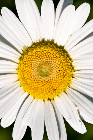 Camomile stock photo, Flower series: macro view of white big camomile by Gennady Kravetsky