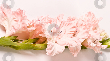Gladiolus stock photo, Flower series: beauty pink colored gladiola, romantic mood by Gennady Kravetsky
