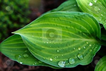 Water drops on leaf stock photo, Water drops on leaf by Juraj Kovacik