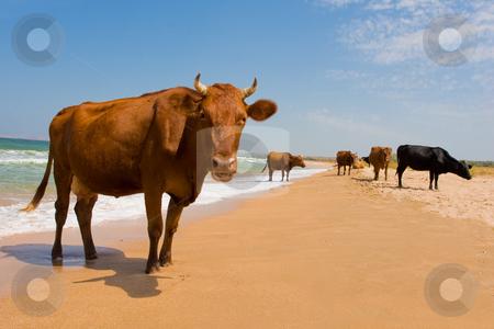 Sunbathing cow stock photo, Leisure series: cow take a sunbathe on the sea beach by Gennady Kravetsky