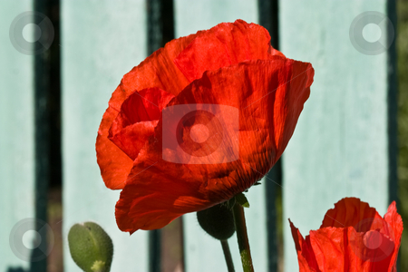 Poppy stock photo, Flower series: red poppy on summer morning light by Gennady Kravetsky
