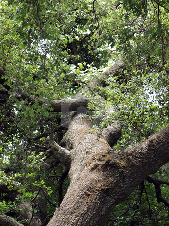 View into oak tree branches leaves and trunk stock photo, Climbably view up into oak tree with trunk branches and leaves by Jeff Cleveland