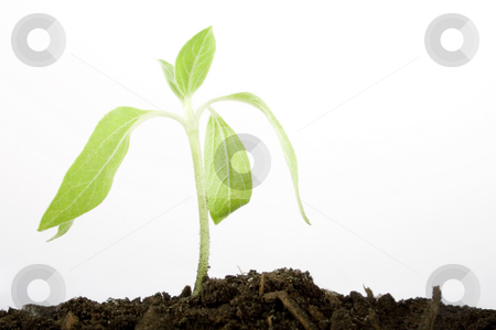 Growing plant with copy space stock photo, Stock image of small plant over white background by iodrakon