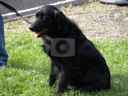 Black Lab stock photo, A black Labrador dog on a leash sits on a grassy patch. by Robert Gebbie