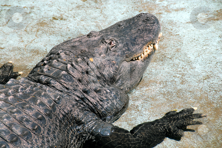 Crocodile stock photo, Crocodile turned hand, watching eye and dangerous teeth by Julija Sapic