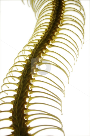 Snake Skeleton stock photo, Gently curved snake ribcage on a light base by Martin Darley