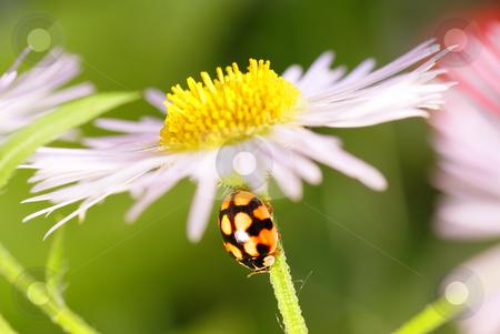Ladybird stock photo, Black speckled ladybird on green flower stem by Jolanta Dabrowska