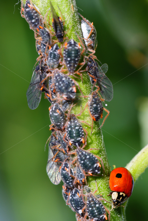 aphids stock photo, Macro ladybird and aphids on green stem by Jolanta Dabrowska