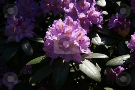 Rhododendron stock photo, Full-blown  rhododendron tree  flower as background by Jolanta Dabrowska
