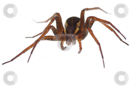 Spider stock photo, Big brown frightening spider  on white background by Jolanta Dabrowska