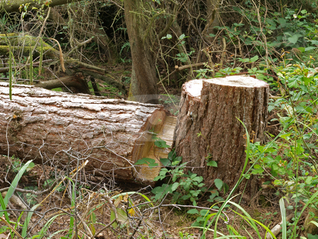 Chopped down tree. stock photo, Chopped down tree left to attract wildlife in a British wood. by Ian Langley
