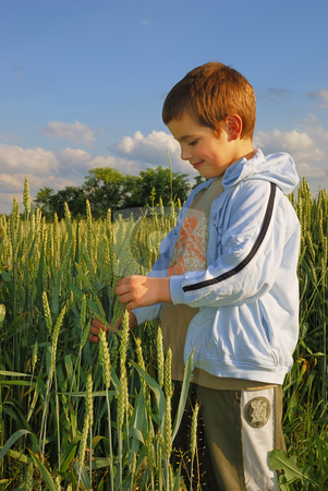 Boy in wheat stock photo, A boy standing in a field at sunset, holding wheat in a hand and looking at it. by Ivan Paunovic
