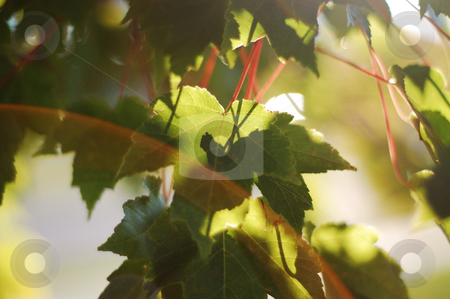 Sunlight glowing through backlit Red Maple leaves stock photo,  by Heather Shelley