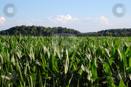 Blue sky and cornfield stock photo,  by Heather Shelley