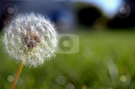 Dandelion stock photo,  by Heather Shelley