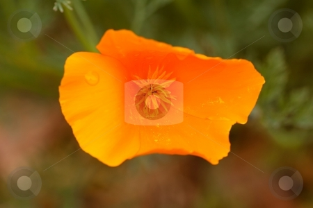 California poppy stock photo, California poppy (Eschscholzia californica) is native to grassy and open areas from sea level to 2,000m (6,500 feet) altitude in the western United States throughout California by Mariusz Jurgielewicz