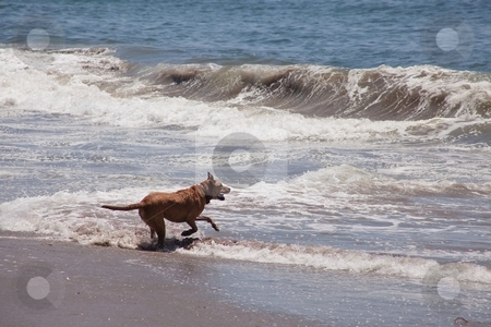 Dog on the beach stock photo, Dog running and playing on the ocean beach. by Mariusz Jurgielewicz