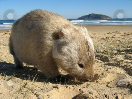 Wombat Island stock photo, Wombat at Wilsons Promontory National Park, Victoria Australia by Robyn Butler
