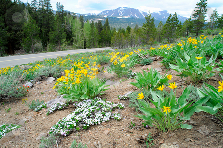 Mountain Wildflowers stock photo, Yellow and white  flowers cover a hillside at springtime in the california sierra nevada mountains by Lynn Bendickson