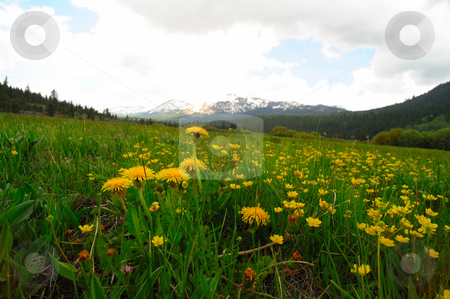 Mountain dandelions  stock photo, Mountain dandelions and other yellow flowers in a grassy meadow with snow covered peaks in the background. by Lynn Bendickson