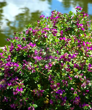 Purple flowering bush stock photo similar images purple flowering bush mightylinksfo