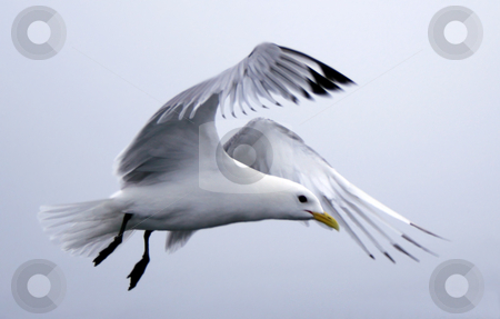 Seagull stock photo,  by Stelian Ion