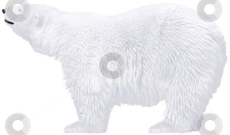 Polar bear stock photo, Beautiful white polar bears isolated  - arctic wild animals by Stelian Ion