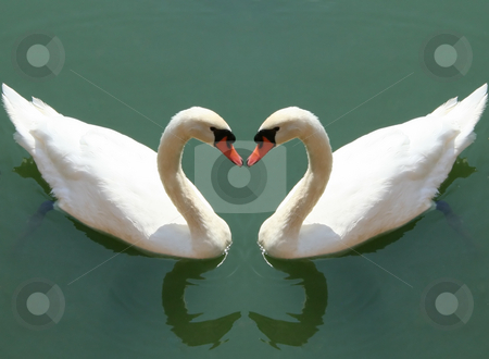 Fall in love stock photo, Couple of swans fall in love - love symbol concept by Stelian Ion