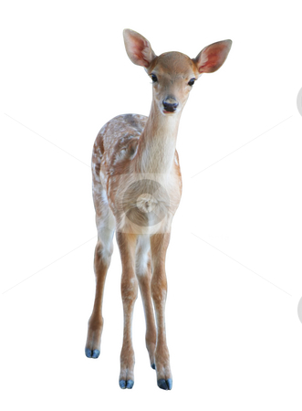Fawn stock photo, Beautiful small fawn - isolated on white background by Stelian Ion