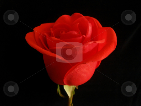 Beautiful red rose stock photo, Beautiful red rose - love and romance symbol by Stelian Ion