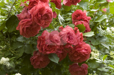 Roses stock photo, A couple of red roses on bush by Andreas Brenner
