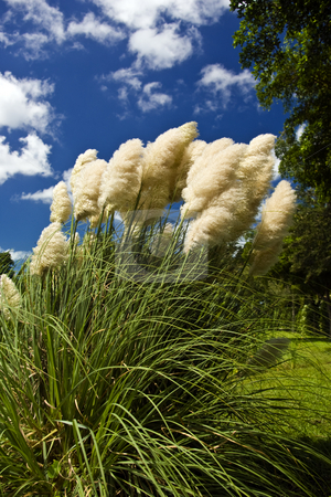 Papas Grass stock photo, Papas grass flowing in the wind. by Steve Carroll