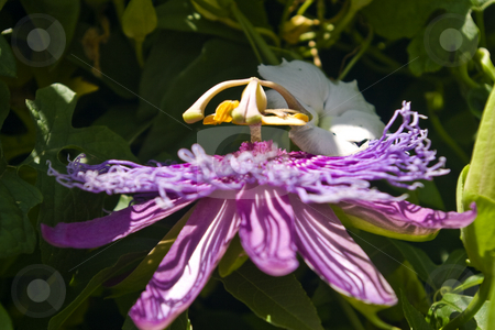 Purple Passion Flower stock photo, Purple passion flower with interesting shadows on the pedals. by Steve Carroll