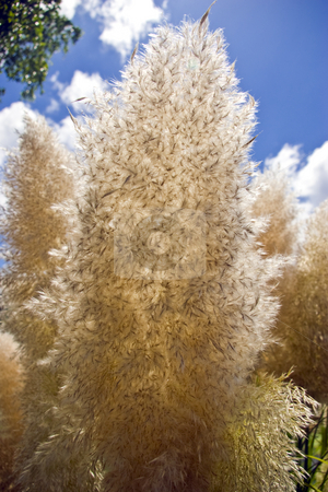 Papas Grass Seed Head stock photo, Papas grass seed head against a blue sky with white clouds. by Steve Carroll