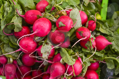 Bunch of Radishes stock photo, Bunch of radishes fresh from the garden. by Steve Carroll