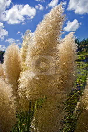 Papas Grass stock photo,  by Steve Carroll