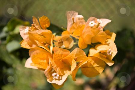 Orange bougainvillea stock photo, Close-up of orange bougainvillea in boom by Steve Carroll