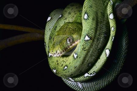 Emerald boa stock photo, A close-up portrait of an emerald boa in the Bolivian rainforest by Dirk Ercken
