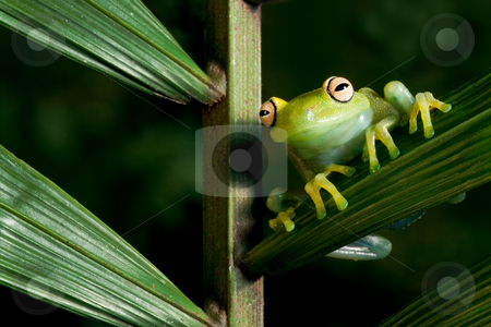 Hypsiboas cinerascens stock photo, Green tree frog Hypsiboas cinerascens on a palm leaf in Bolivia by Dirk Ercken