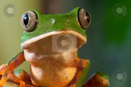 Phylomedusa tomopterna stock photo, Monkey frog Phyllomedusa tomopterna Bolivia by Dirk Ercken